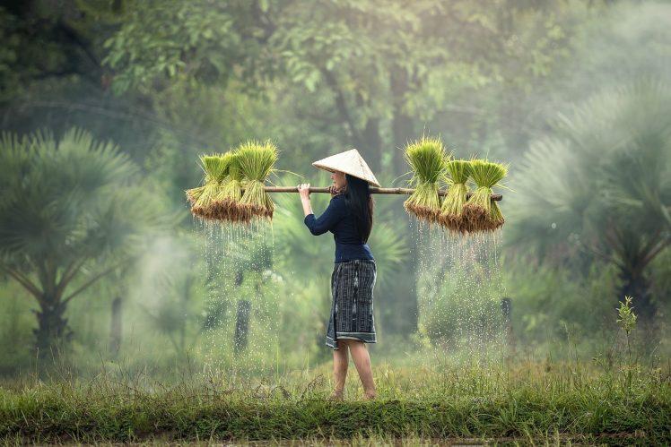 cultivo de arroz recién recogido